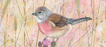 Linnet by Anne Mortimer